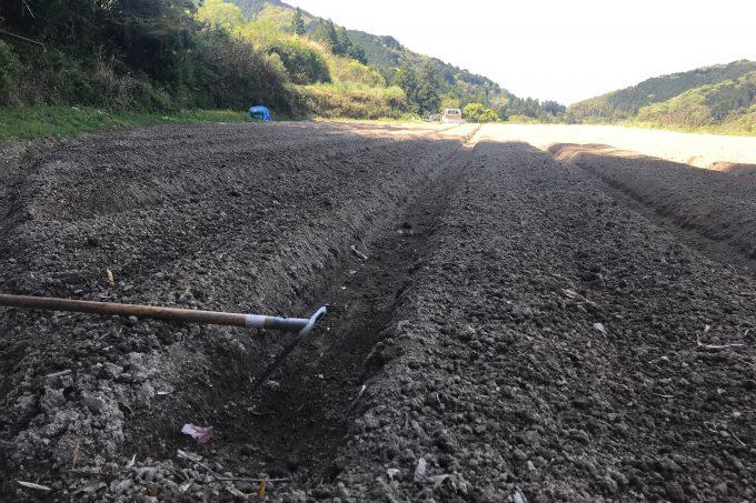 植え付け中の生姜畑