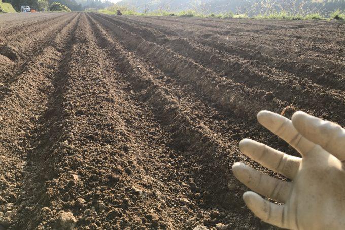 生姜を植え付け中の生姜畑