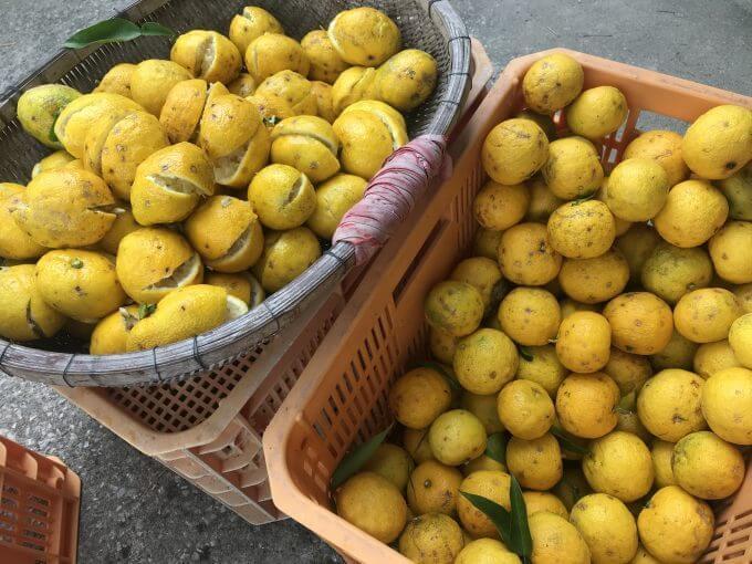 収穫したばかりのユズ果実