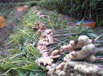 生姜の収穫中