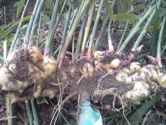 収穫したばかりの生姜